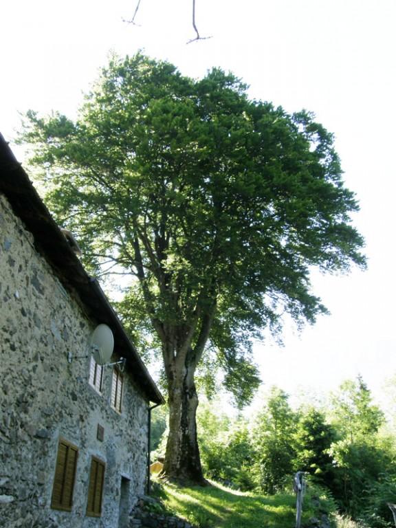 Faggio della Boiana (foto di Giacomo Fanetti)